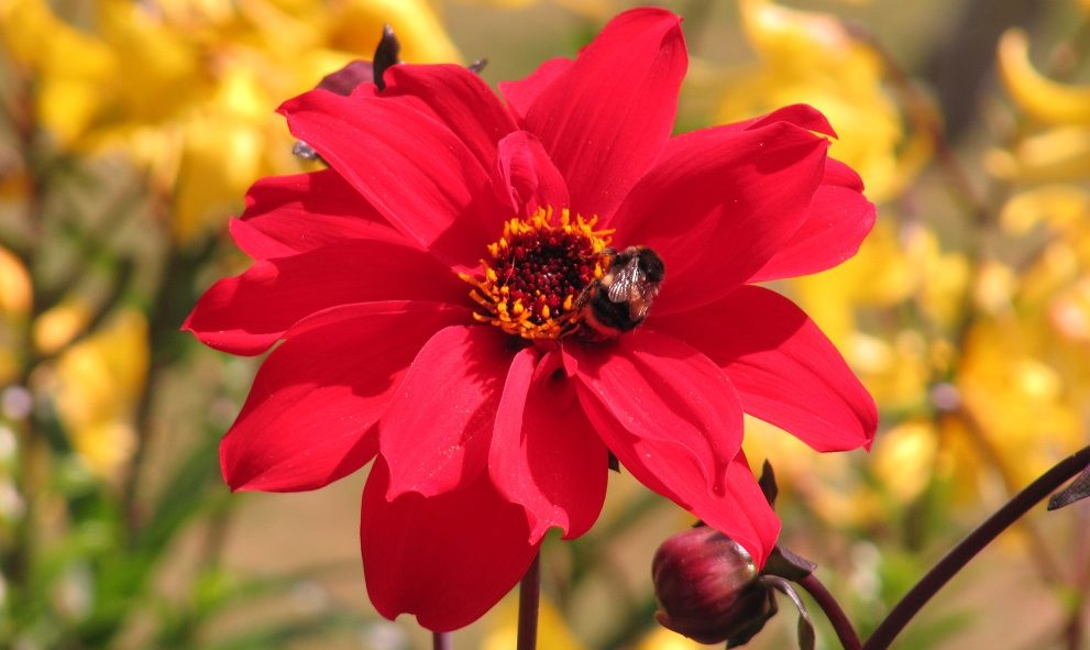 single red flower with bumblebee inside